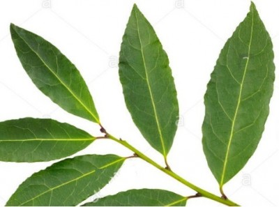 bay_laurel_tree_leafs_eurofora_400