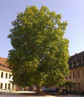 ena_courts_huge_tree_eurofora_400